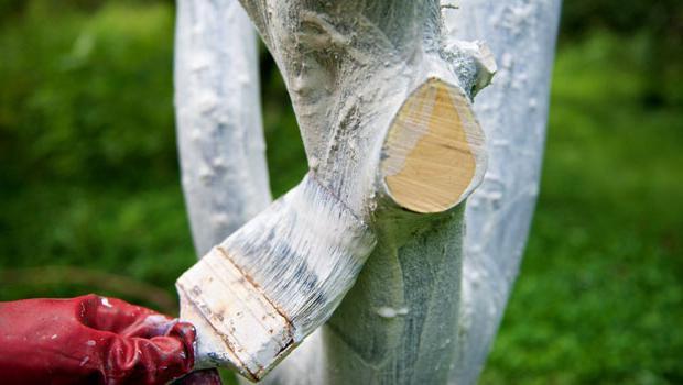 Как правильно побелить деревья?