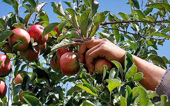 Как правильно определить спелость яблок