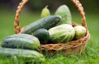 Как увеличить урожай огурцов?
